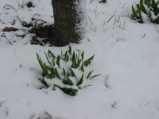 Snow on the Tulips