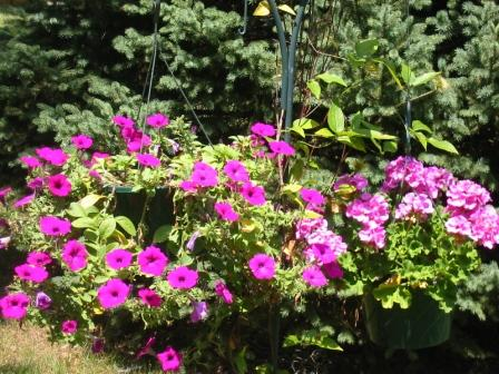 Wave Petunias and Geraniums with Blue Spruce in background